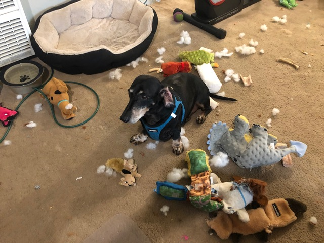 Flash the dachshund is surrounded by the remains, including stuffing, of about six dog toys he has destroyed