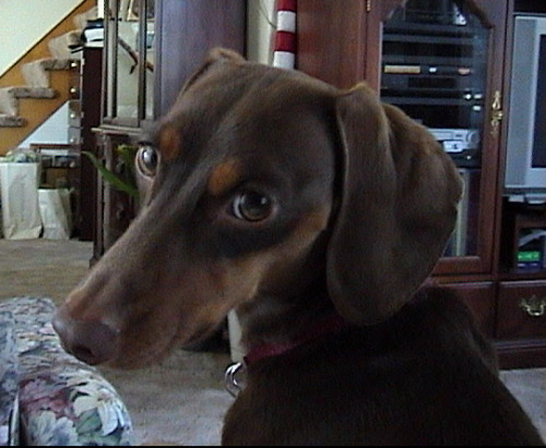 Brown dachshund, with a textbook  example of puppy-dog eyes